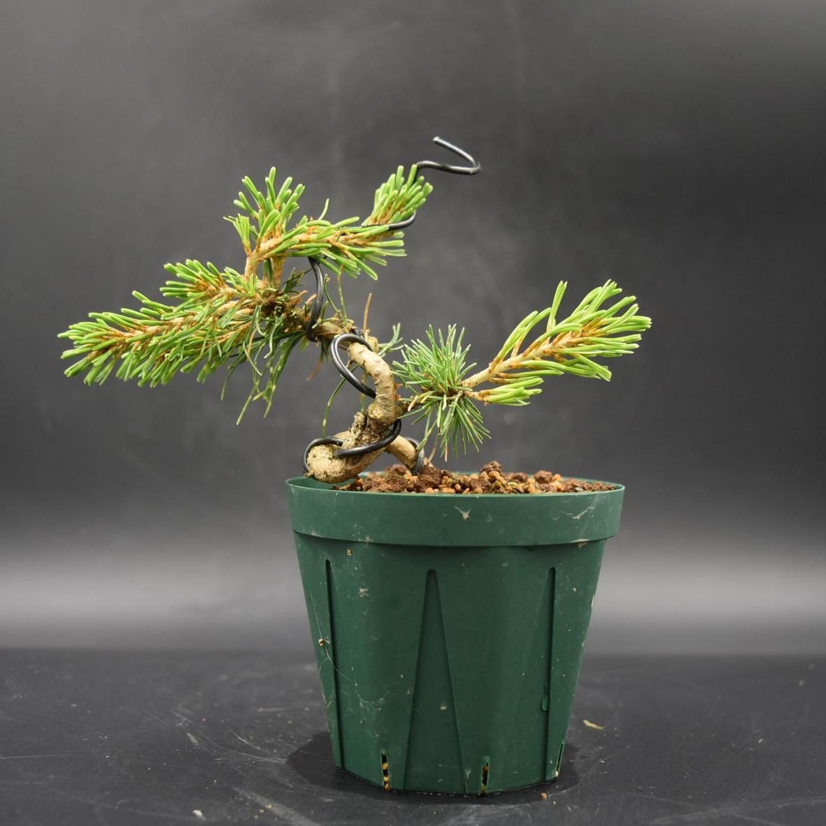 斑入り五葉松 【花火】 ミニ盆栽素材 数量物 樹形色々 樹高9cm #619_画像3