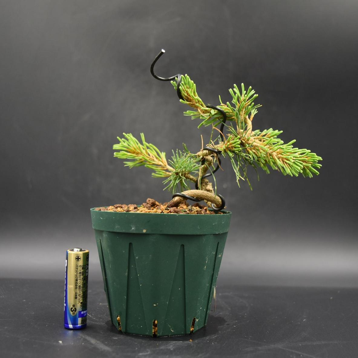 斑入り五葉松 【花火】 ミニ盆栽素材 数量物 樹形色々 樹高9cm #619_画像2