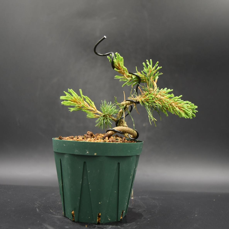 斑入り五葉松 【花火】 ミニ盆栽素材 数量物 樹形色々 樹高9cm #619_画像1