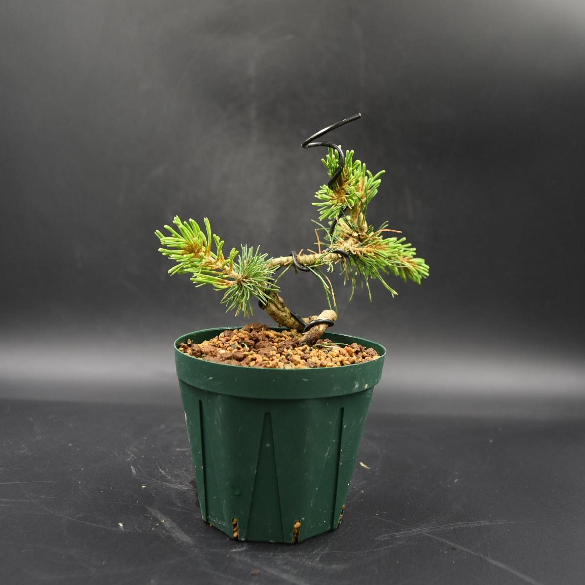 斑入り五葉松 【花火】 ミニ盆栽素材 数量物 樹形色々 樹高9cm #619_画像4