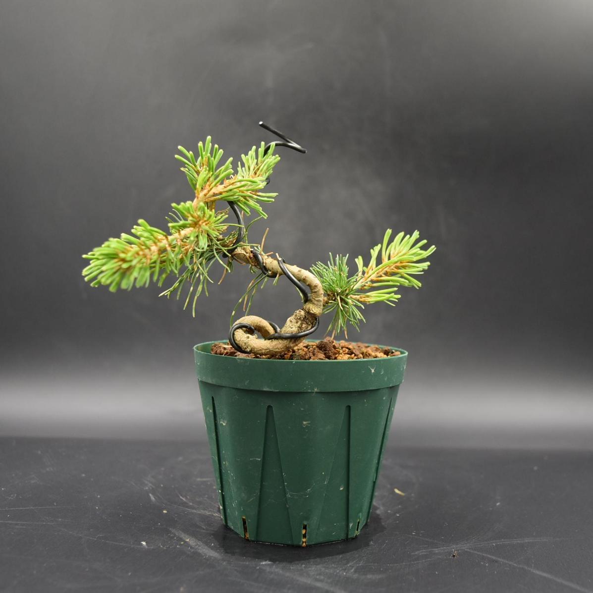 斑入り五葉松 【花火】 ミニ盆栽素材 数量物 樹形色々 樹高9cm #619_画像5