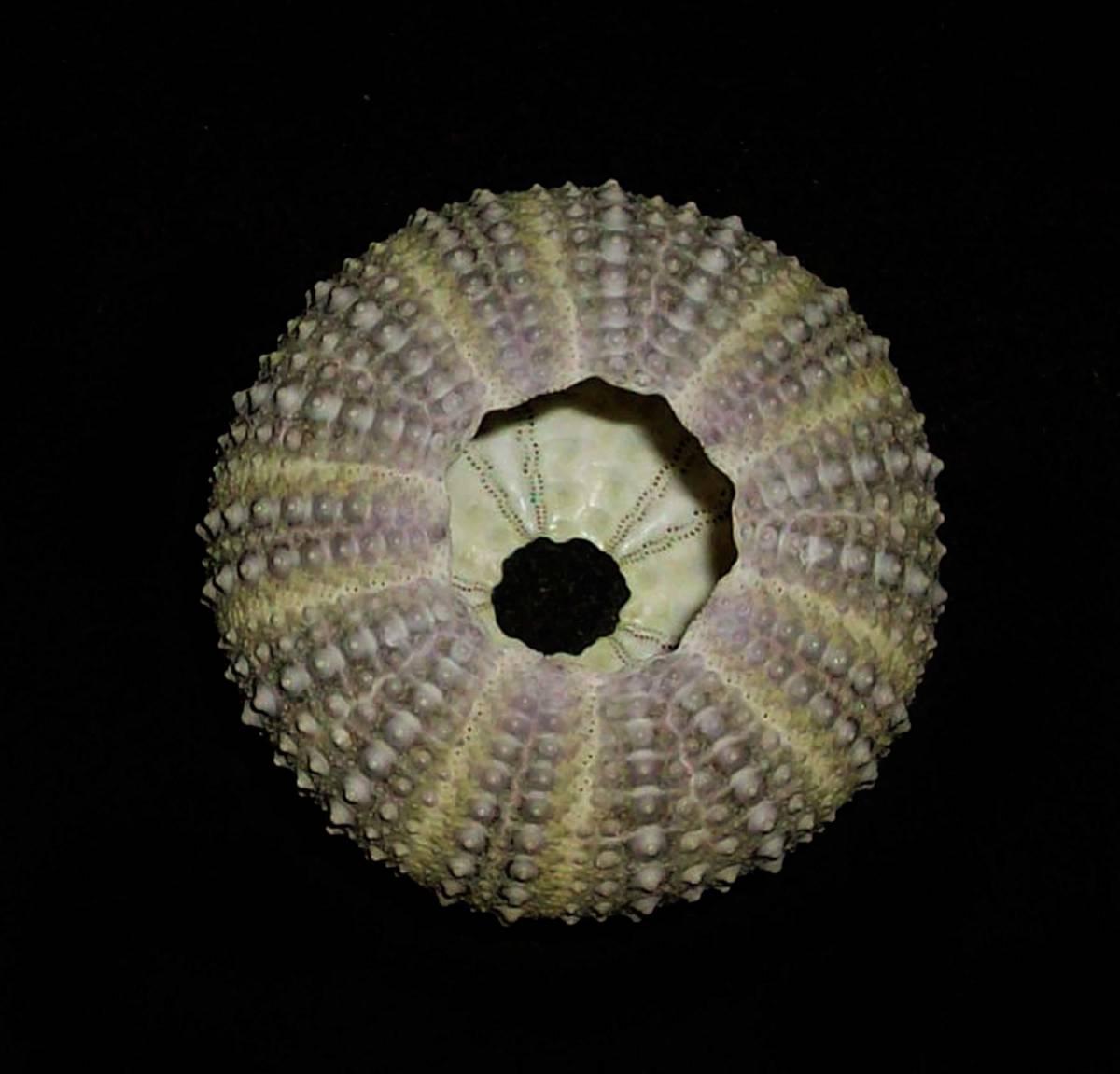 ☆☆☆ J ウニ 殻 検 標本 エーゲ海のウニ 3.5cm位 検 オブジェ インテリア 貝 貝殻 クラフト パーツ 素材_画像4