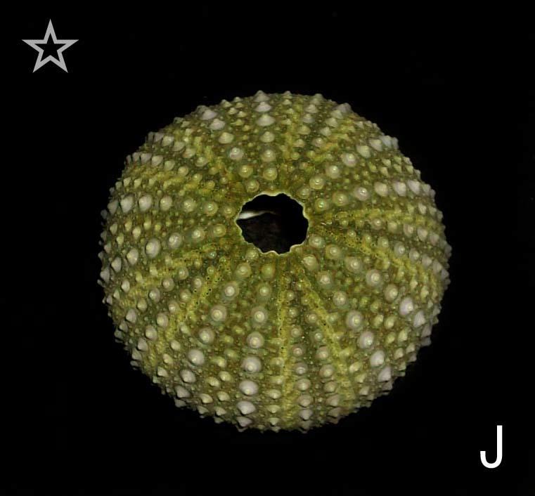☆☆☆ J ウニ 殻 検 標本 エーゲ海のウニ 3.5cm位 検 オブジェ インテリア 貝 貝殻 クラフト パーツ 素材_画像1