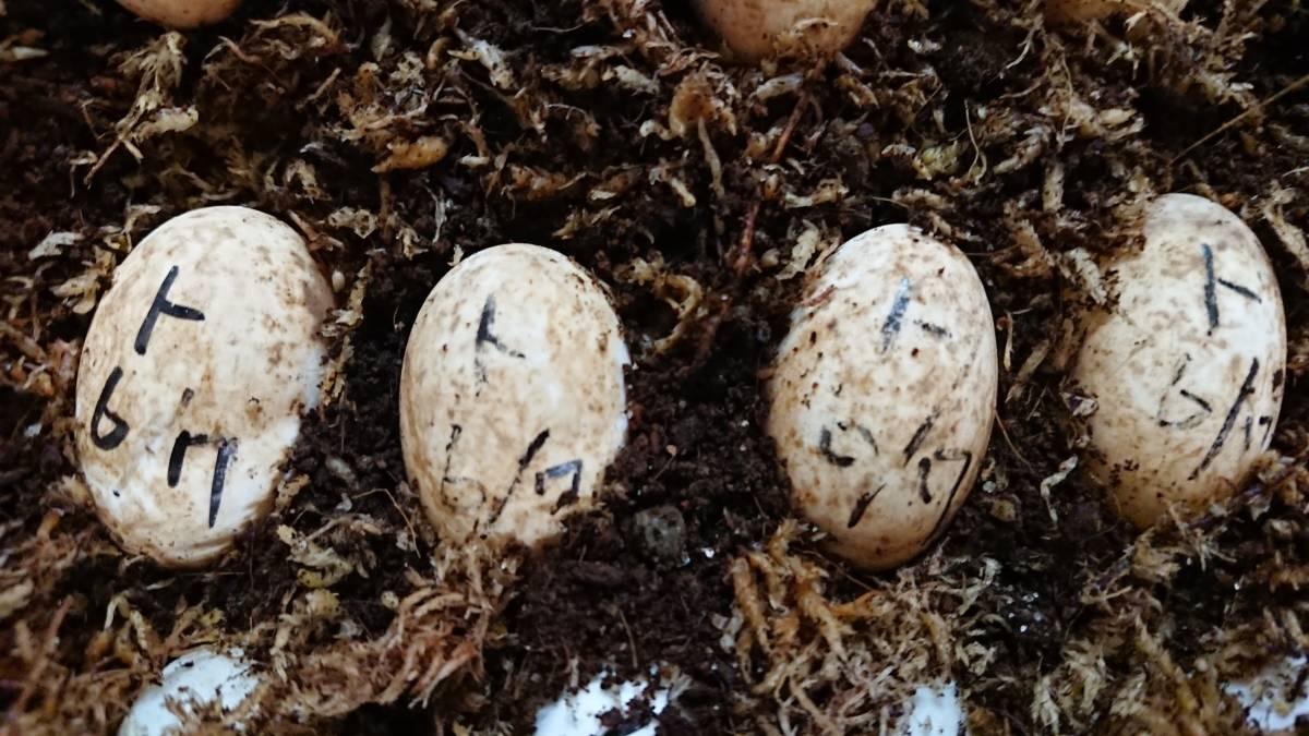 ミツユビハコガメ 7月21日分 ① メス親は黒地に黄色模様 有精卵1個(カメ、亀、ガメ)