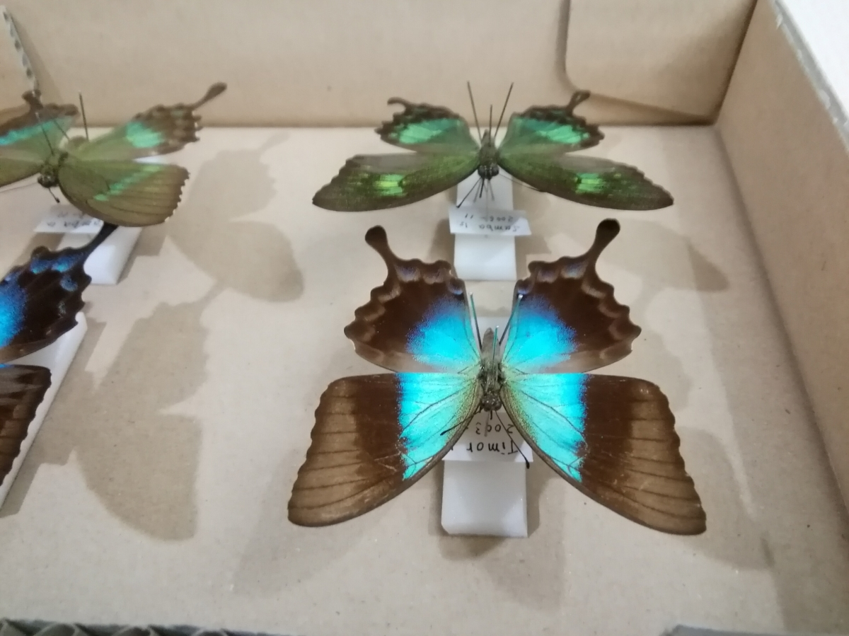 蝶 標本 外国産 アゲハチョウ 2種_画像6