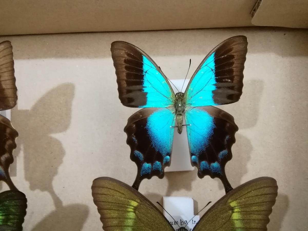 蝶 標本 外国産 アゲハチョウ 2種_画像3
