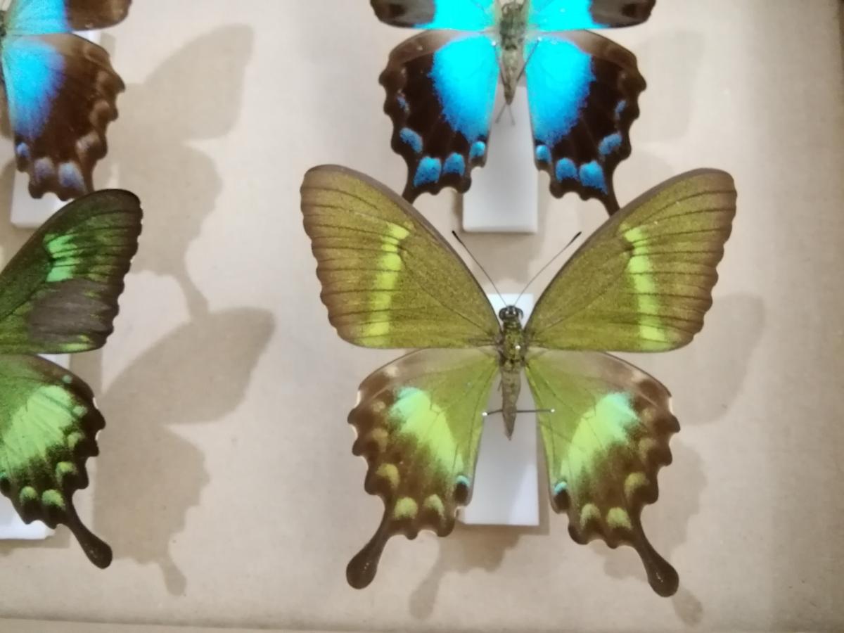 蝶 標本 外国産 アゲハチョウ 2種_画像5