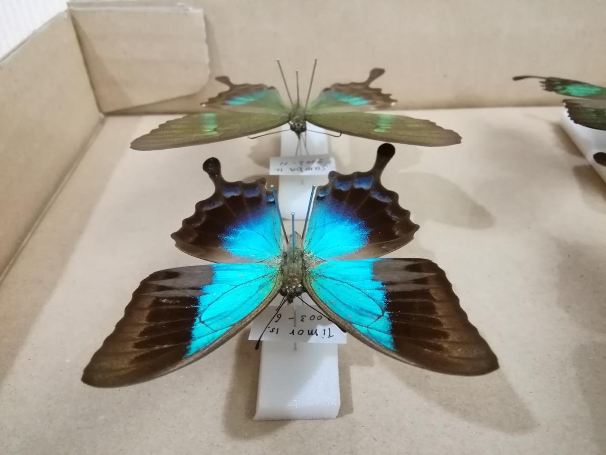 蝶 標本 外国産 アゲハチョウ 2種_画像7