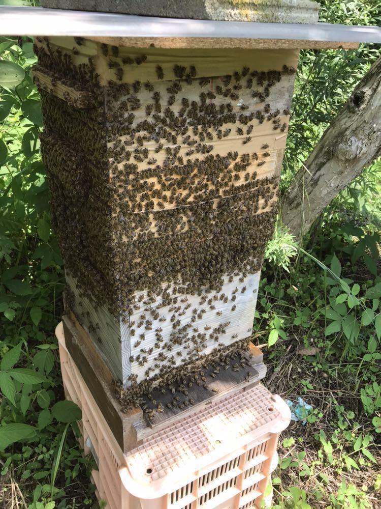 日本蜜蜂の生蜂蜜、ハチミツ、はちみつ_画像3
