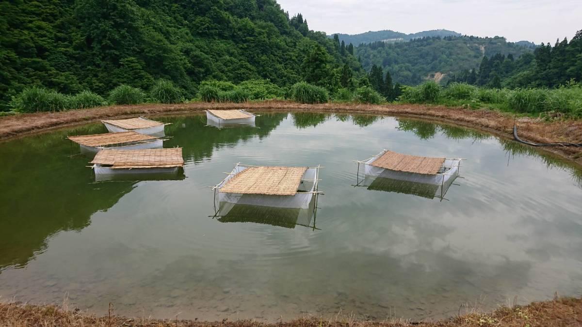 【HFP】 ドイツ鯉 多品種 稚魚 50尾 青木養鯉場産(山古志)H13C_画像3