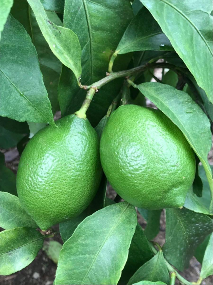 グリーンレモン 正品 1kg 蒲郡産_画像2