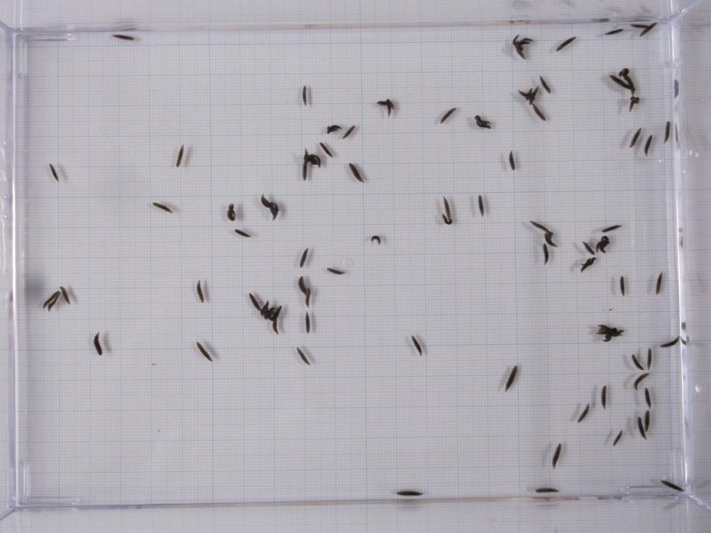 平家 ホタル 平家 蛍 平家 ほたる ヘイケ ホタル 2令幼虫 (5㎜~7㎜) 100頭 補償 10頭 計110頭 おまけ 餌付き(タニシ 50個) その3