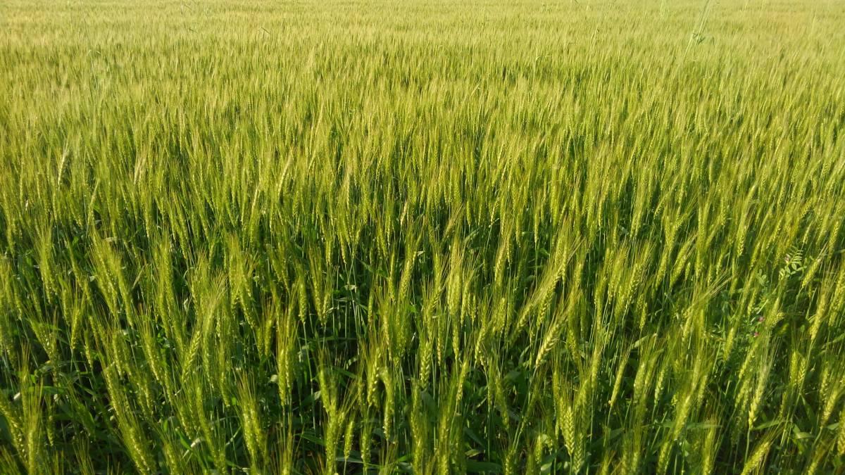 自然栽培 小麦粉(中力粉から薄力粉より)(1kg)自家採取・無肥料無農薬で作ったシロガネコムギ☆熊本県産の自然の力溢れる小麦粉☆_画像4