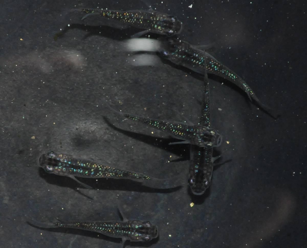 【花火めだか】◆オーロラブラックラメ現物出品◆オス1匹メス2匹のトリオ2セット★雄2匹雌4匹 合計6匹_画像2