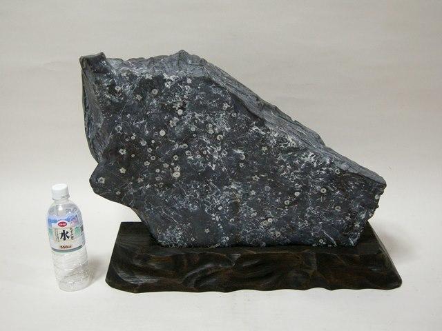 門司梅花石  幅約61.0cm 重さ約35kg 台座付 蕾花無数  福岡県天然記念物 本物保障 _画像2
