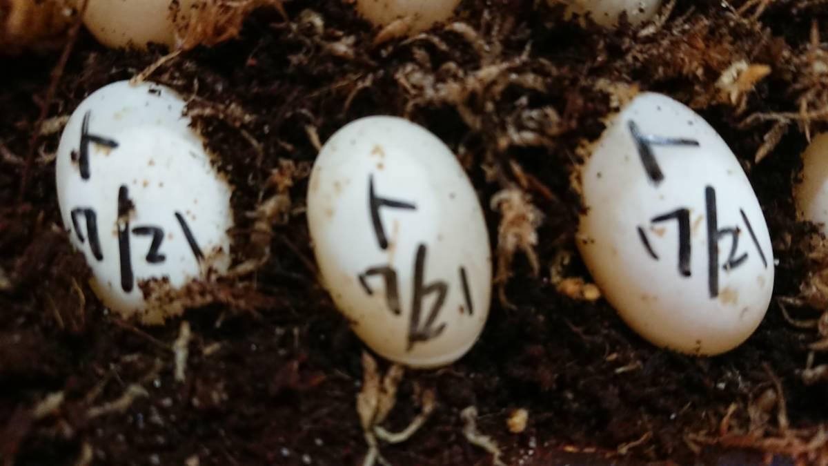ミツユビハコガメ 7月21日分 ① メス親は黒地に黄色模様 有精卵1個(カメ、亀、ガメ) _画像4