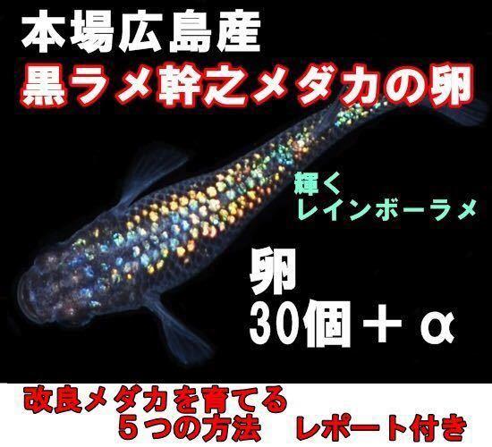 広島産 黒ラメ幹之 めだか卵30個 最高級メダカ 七色キラキラ光るメダカ 超美個体 親群