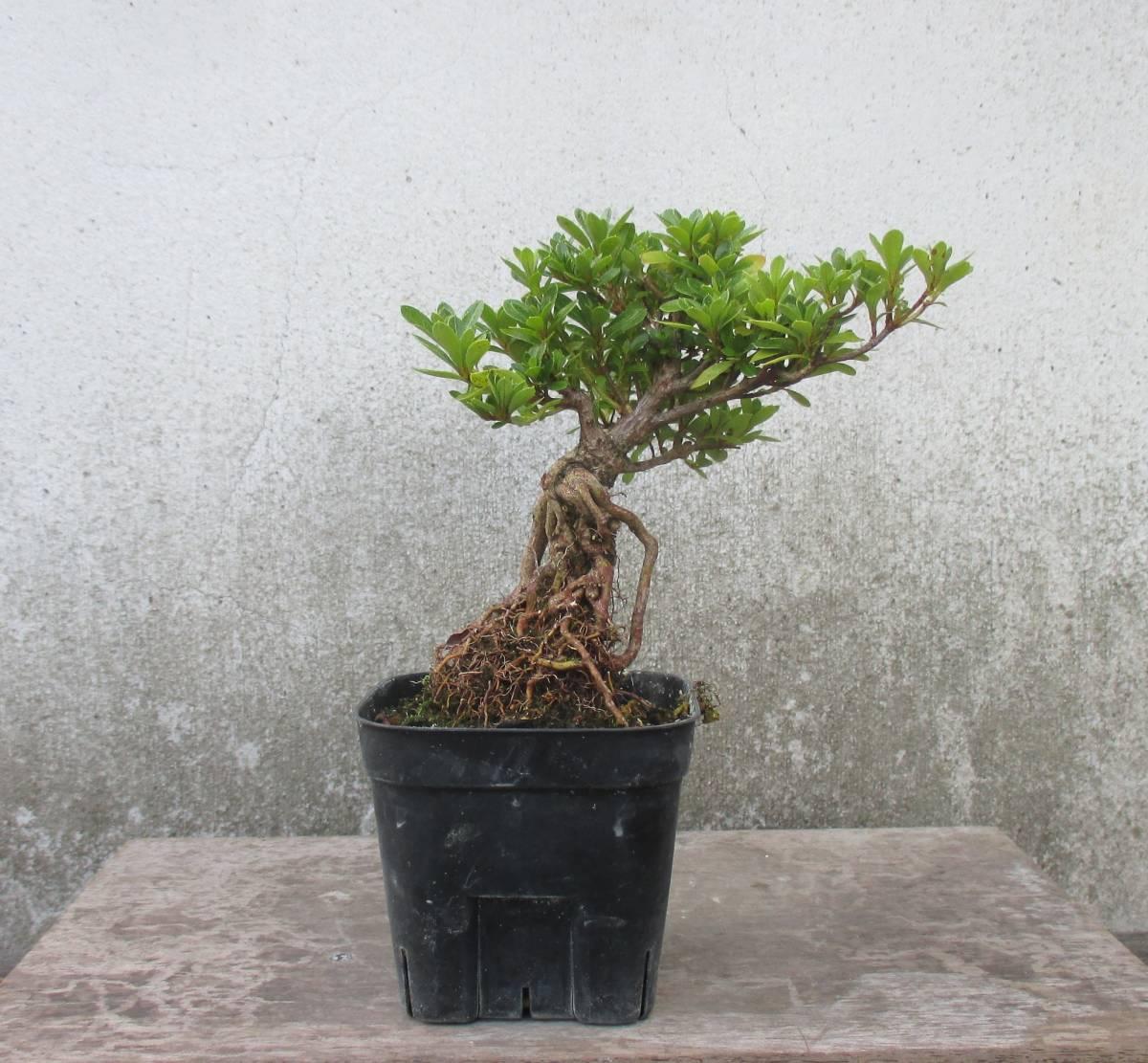 極小品 根上り さつき盆栽 ◆明美の月◆  鉢  9*9cm
