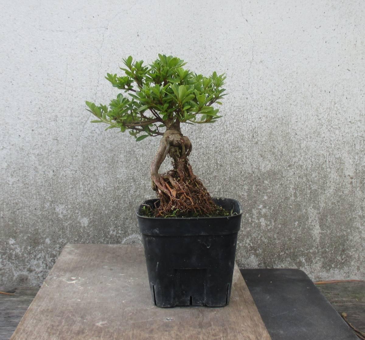 極小品 根上り さつき盆栽 ◆明美の月◆  鉢  9*9cm_画像3