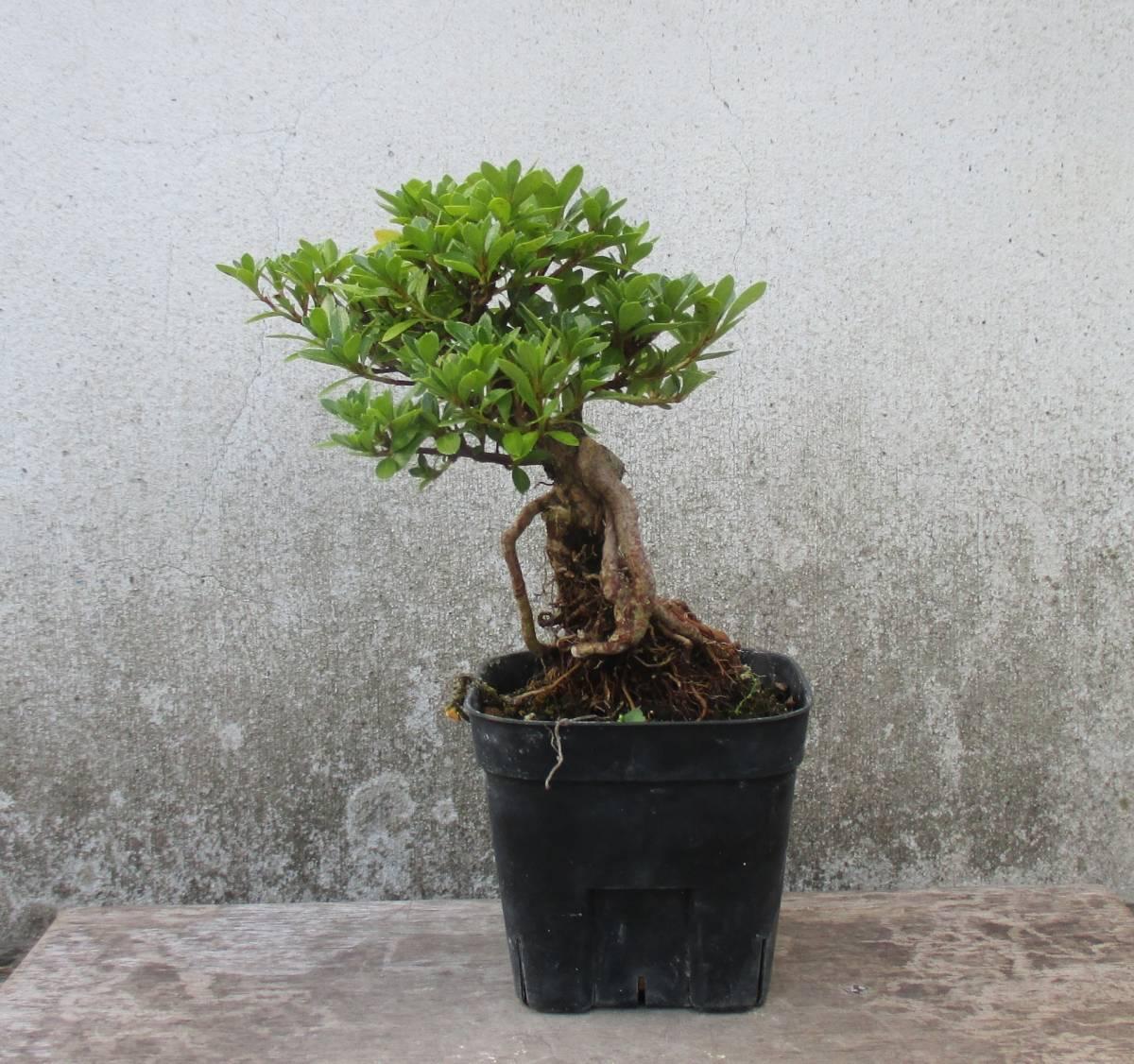 極小品 根上り さつき盆栽 ◆明美の月◆  鉢  9*9cm_画像2