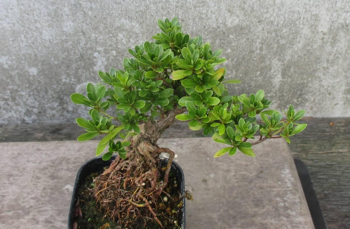 極小品 根上り さつき盆栽 ◆明美の月◆  鉢  9*9cm_画像4