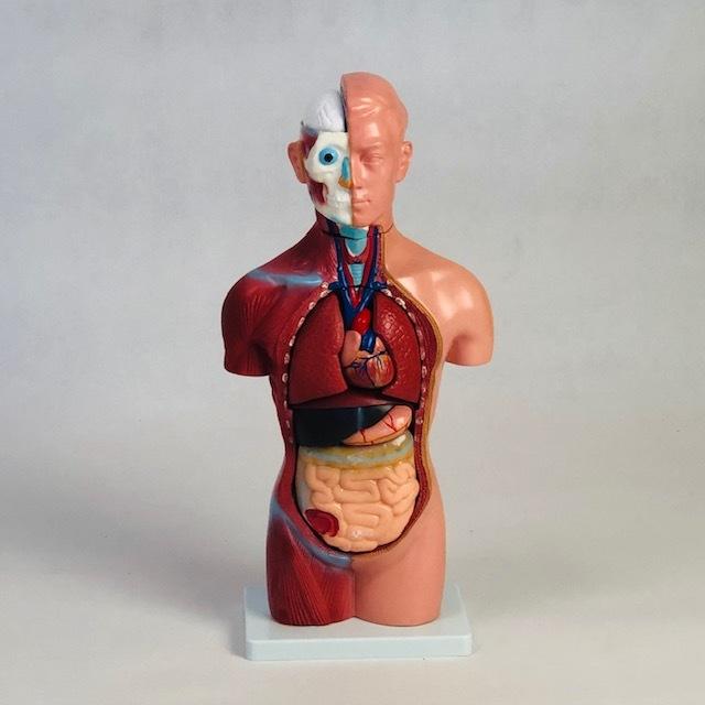 新品訳あり●内臓人体模型15パーツ●箱ボロ取説無し