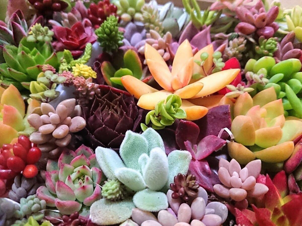 .* 多肉植物 30種類40カット .* 寄せ植えに。_画像3