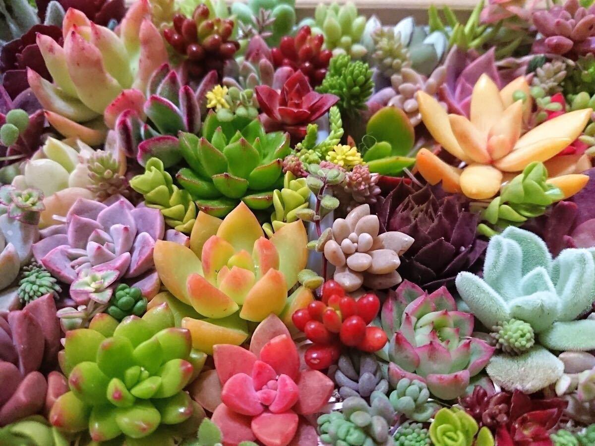.* 多肉植物 30種類40カット .* 寄せ植えに。_画像2
