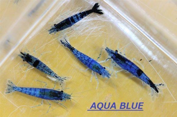 【AQUA BLUE シュリンプ】ダークブルーベルベット20匹 同梱なし 追加可能