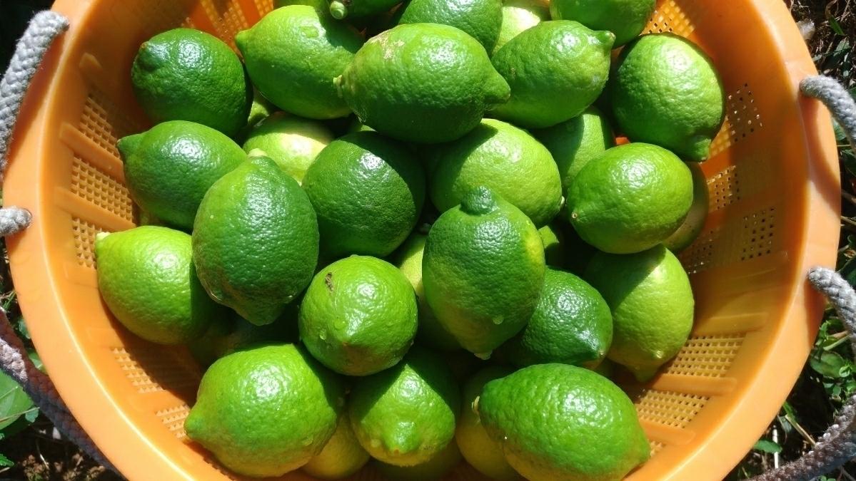 広島県産無農薬グリーンレモン2kg_画像2