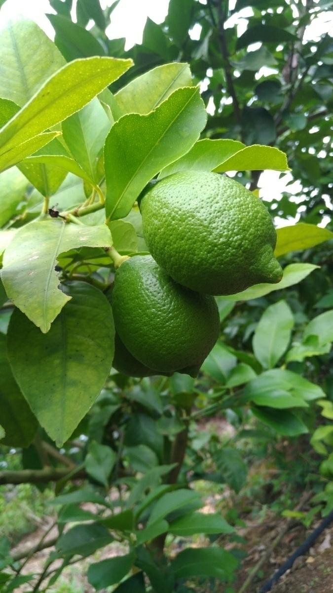 広島県産無農薬グリーンレモン2kg