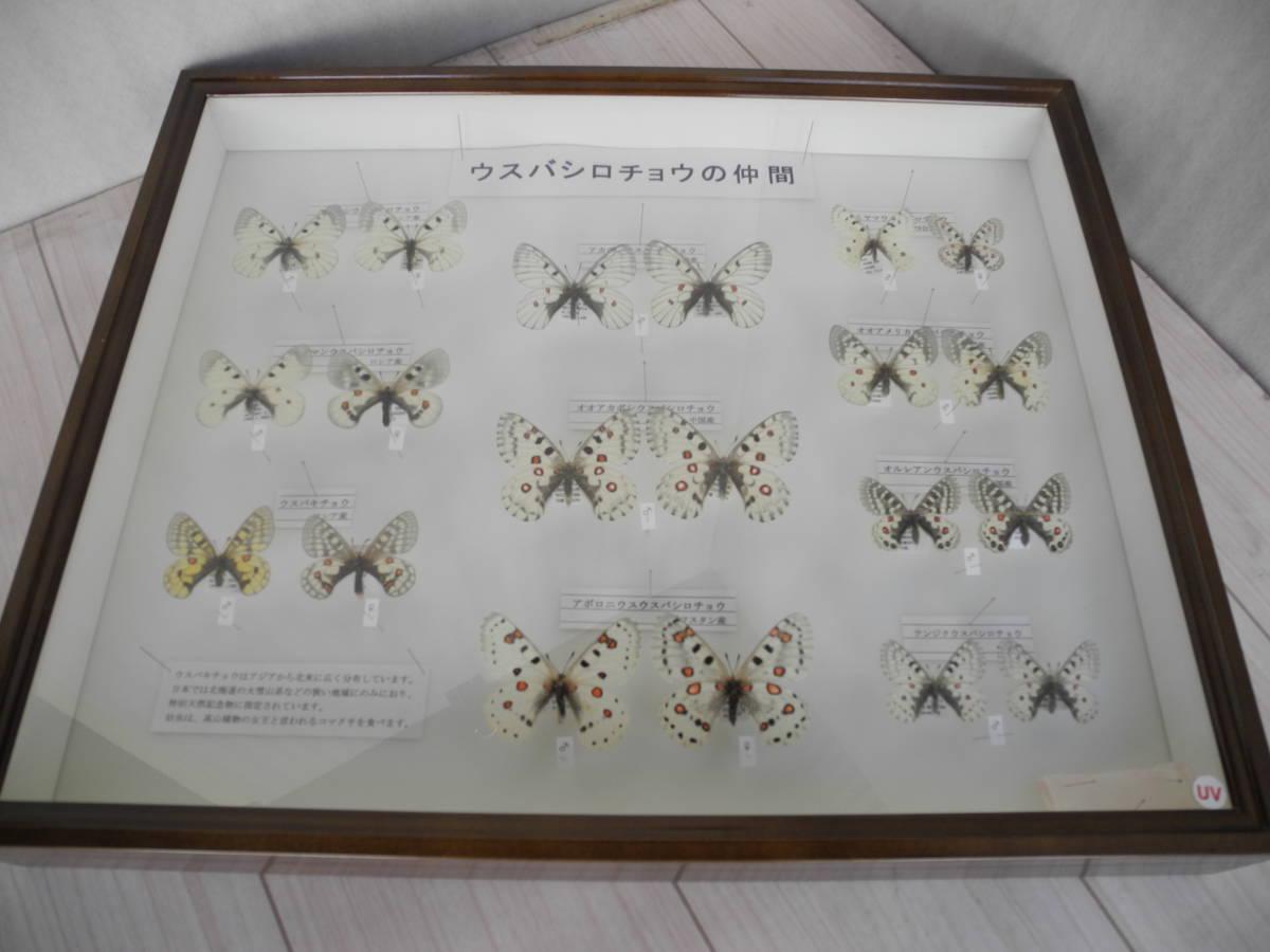 41・蝶の標本★ウスバシロチョウの仲間★ドイツ箱★UV加工★美品