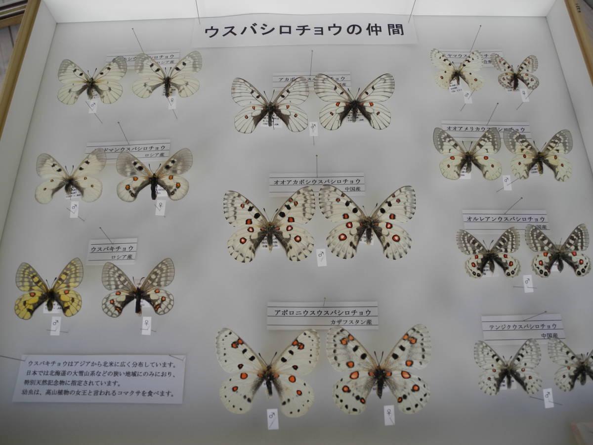 41・蝶の標本★ウスバシロチョウの仲間★ドイツ箱★UV加工★美品 _画像2