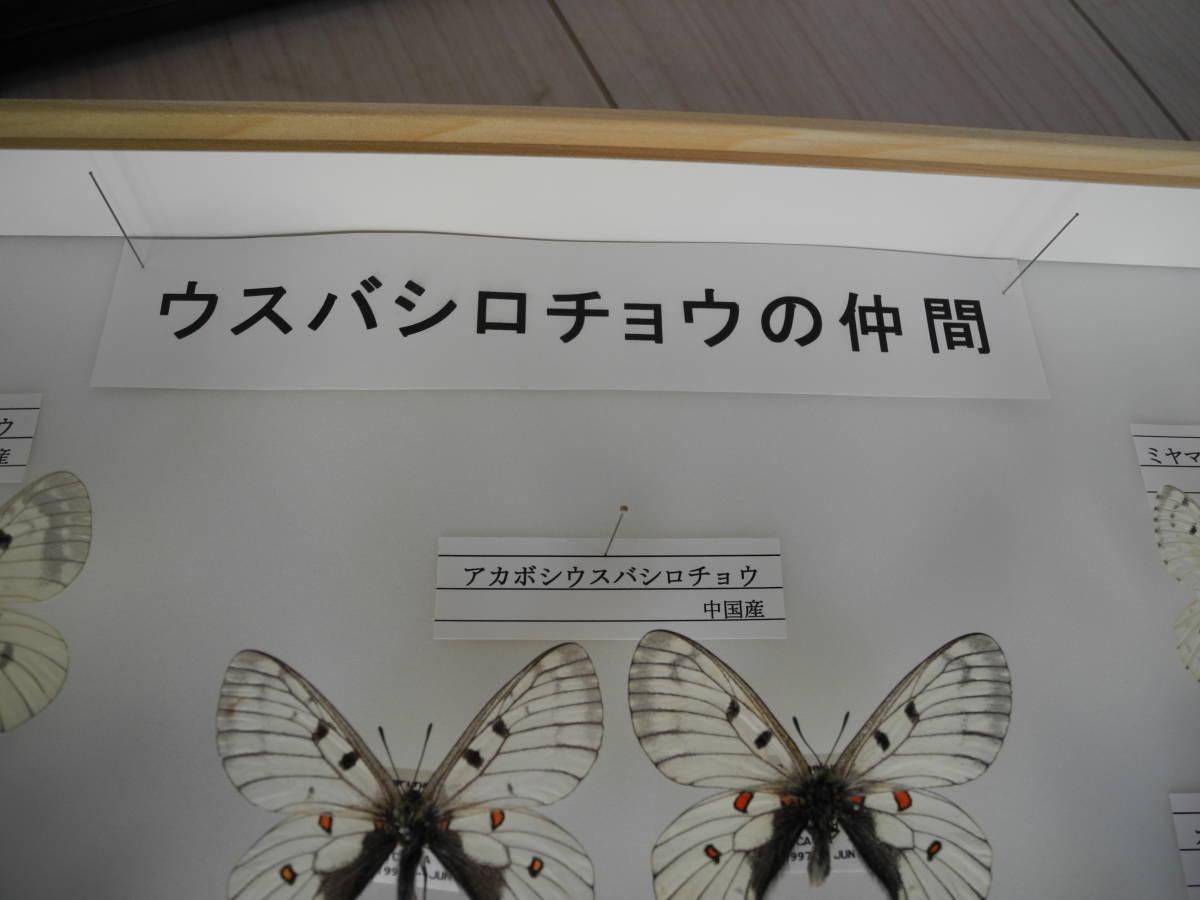 41・蝶の標本★ウスバシロチョウの仲間★ドイツ箱★UV加工★美品 _画像3