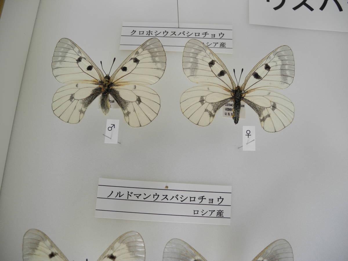 41・蝶の標本★ウスバシロチョウの仲間★ドイツ箱★UV加工★美品 _画像4