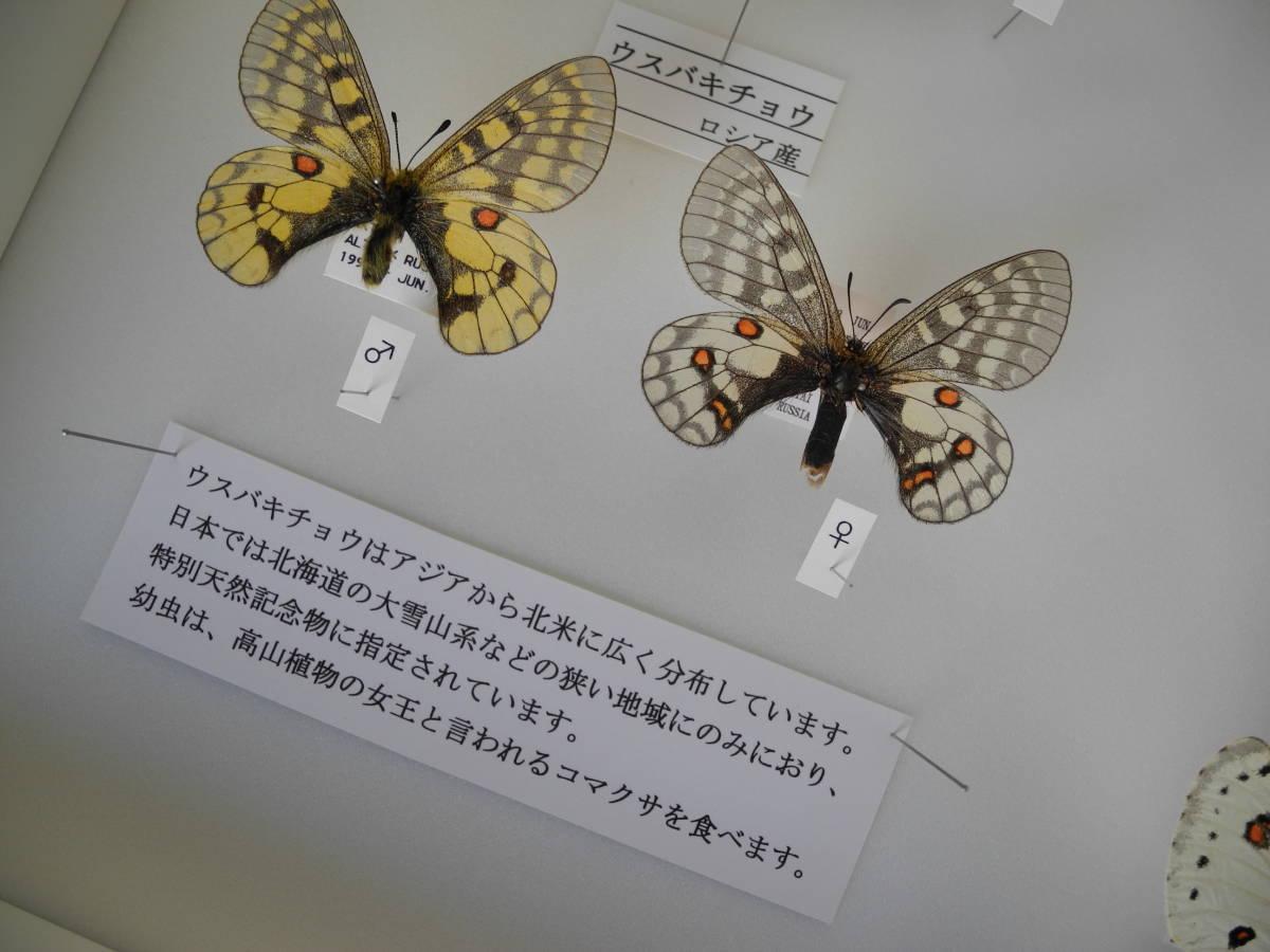 41・蝶の標本★ウスバシロチョウの仲間★ドイツ箱★UV加工★美品 _画像5