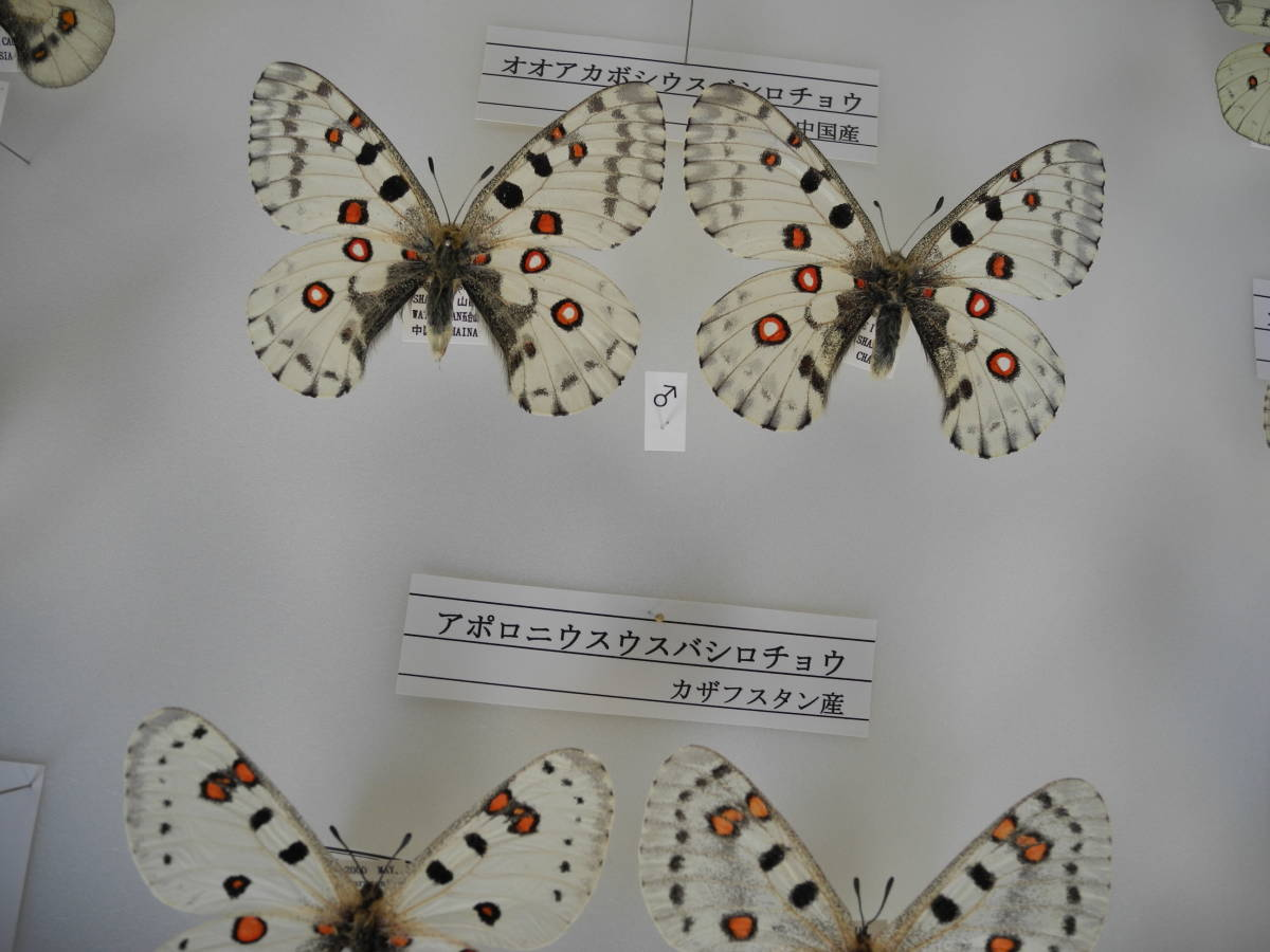 41・蝶の標本★ウスバシロチョウの仲間★ドイツ箱★UV加工★美品 _画像6