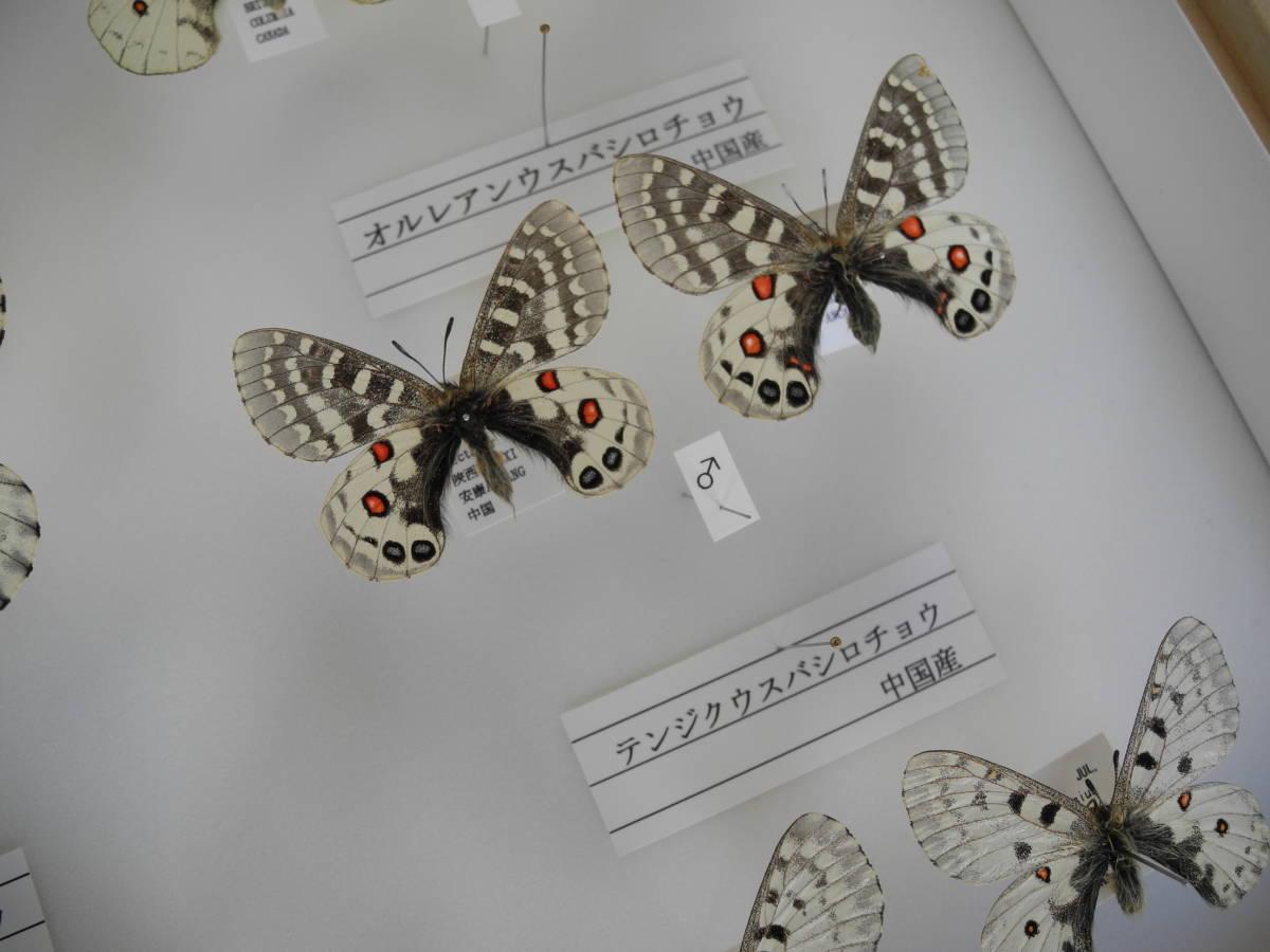 41・蝶の標本★ウスバシロチョウの仲間★ドイツ箱★UV加工★美品 _画像7