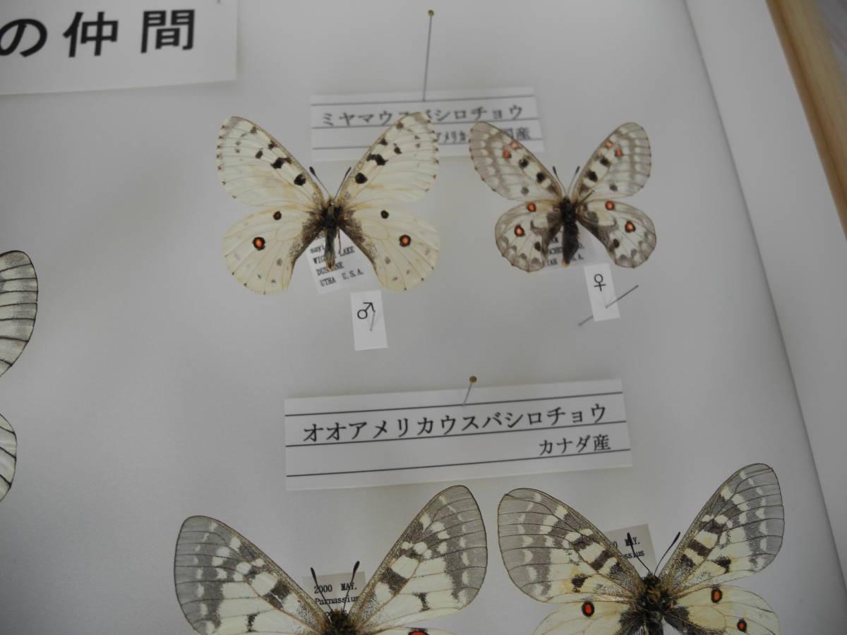 41・蝶の標本★ウスバシロチョウの仲間★ドイツ箱★UV加工★美品 _画像8