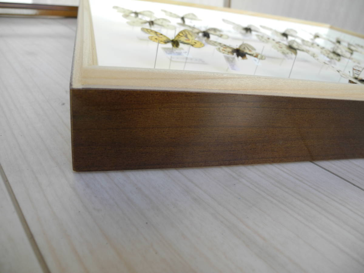 41・蝶の標本★ウスバシロチョウの仲間★ドイツ箱★UV加工★美品 _画像9