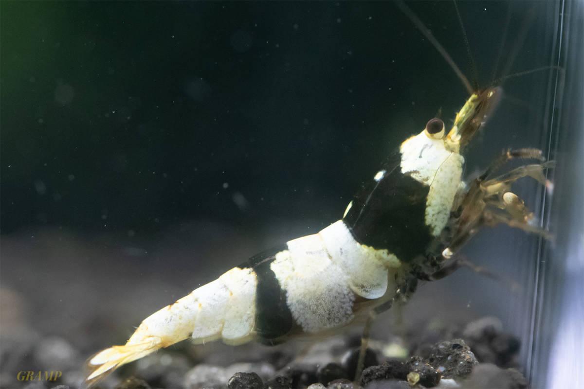 〓GRAMP〓 ブラックビーシュリンプ オス1メス5繁殖セット6匹(3匹抱卵中)[D6]_画像2