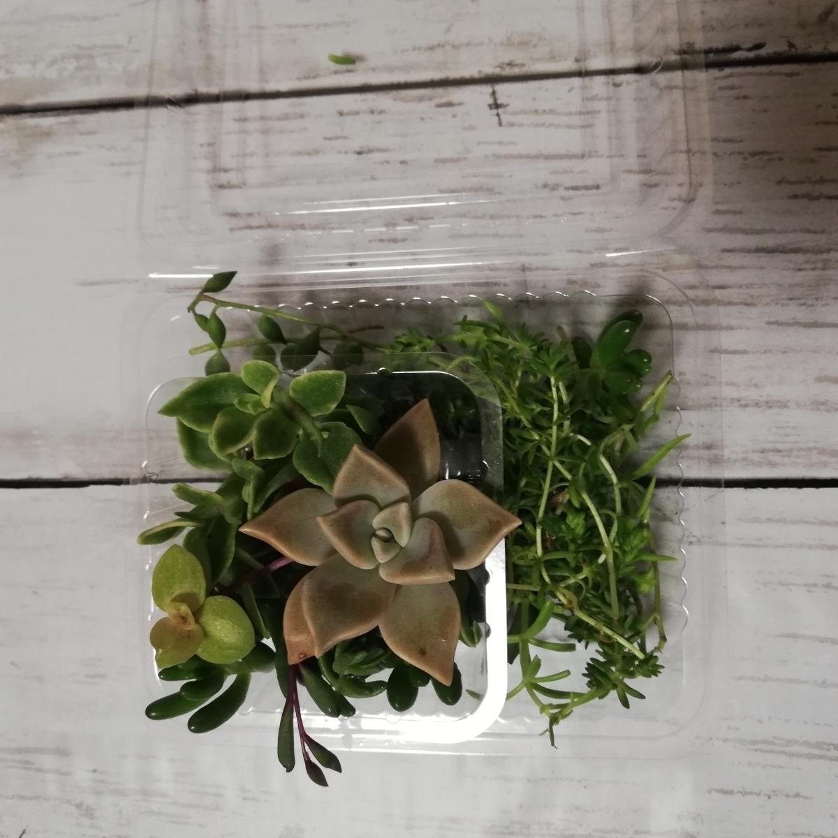 ☆送料無料 多肉植物寄せ植えにどうぞ☆カット苗10種類25カットG☆_画像6