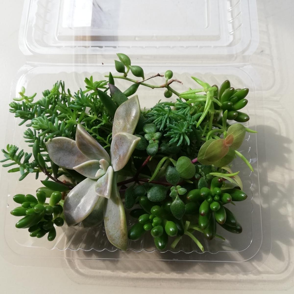 ☆送料無料 多肉植物寄せ植えにどうぞ☆カット苗10種類25カットG☆_画像8