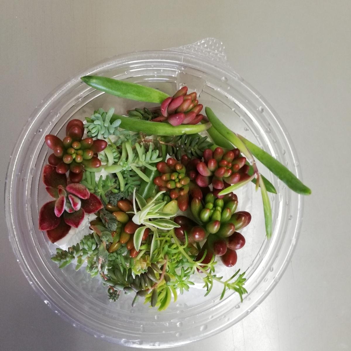 ☆送料無料 多肉植物寄せ植えにどうぞ☆カット苗10種類25カットG☆_画像2