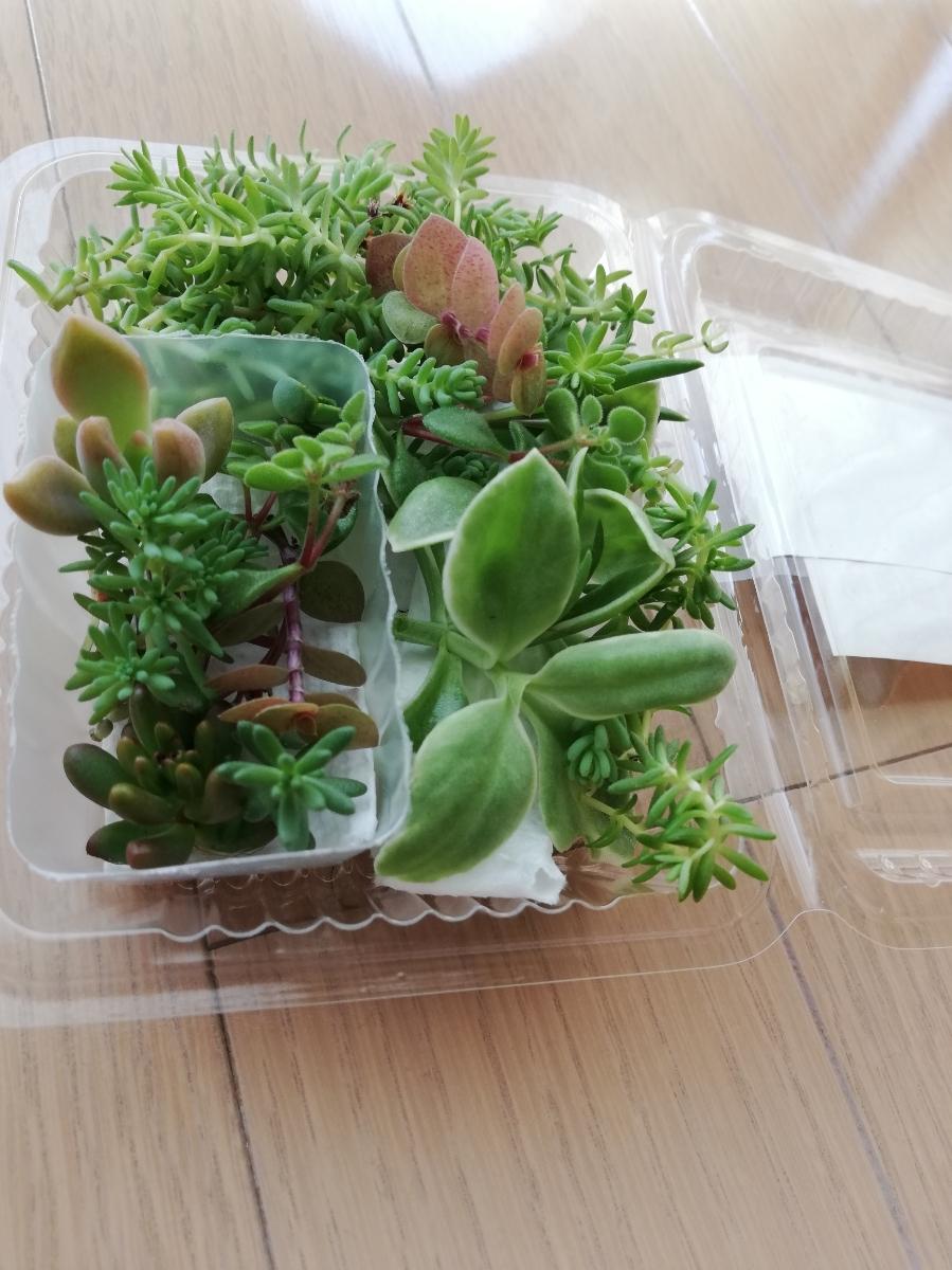 ☆送料無料 多肉植物寄せ植えにどうぞ☆カット苗10種類25カットG☆_画像7