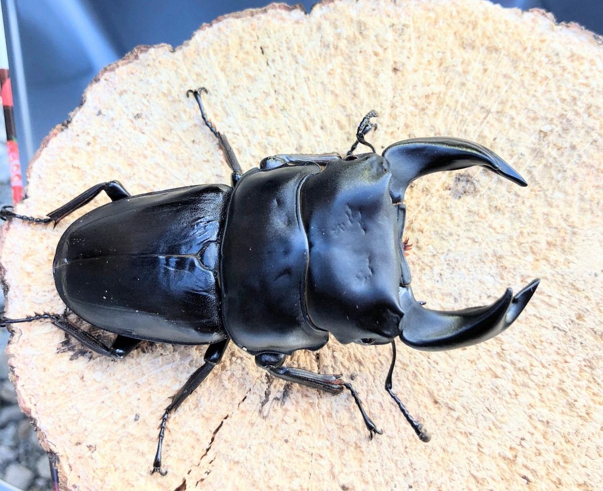 ■極太■GORDON 76mmペア(使用済み)+幼虫3頭