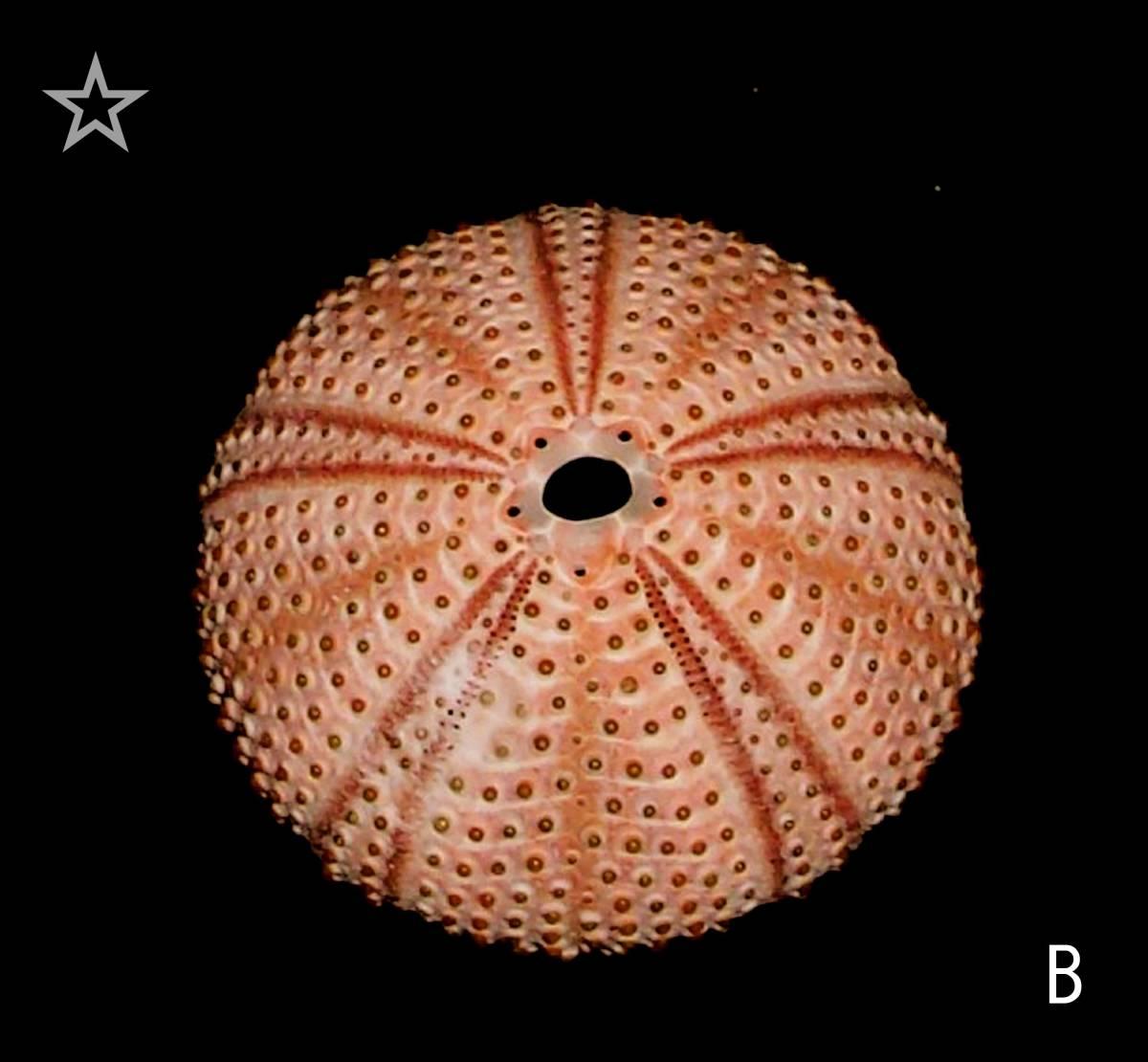 ☆☆☆ B ウニ 殻 検 標本 エーゲ海のウニ 1個 4.6cm位 検 オブジェ インテリア 貝 貝殻 クラフト 素材 パーツ_画像1