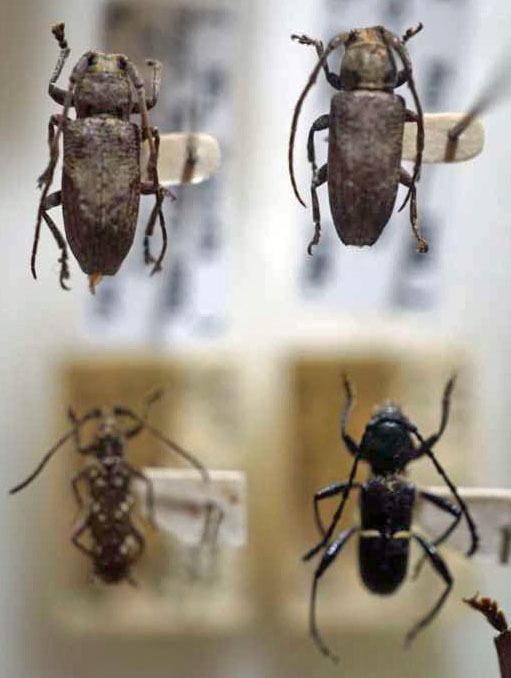 標本 340-9 激レア タイ/パプアニューギニア産 カミキリムシ Cerambycidae 4ex 現状特価_画像1