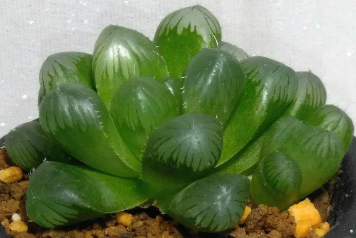 巨大 グリーンレンズ 小株付き オブツーサ ハオルチア ハオルシア サボテン 多肉 植物 観葉 インテリア レア