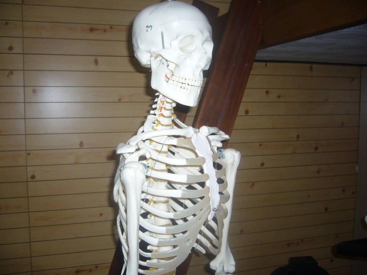 人体骨格模型 身長172cm 全長180cm_画像4